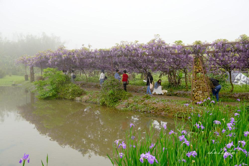 淡水夢幻紫藤花隧道:滿開!全台最大紫藤花園只剩8天花期,最新花況、拍攝攻略、捷運、公車、停車場資訊