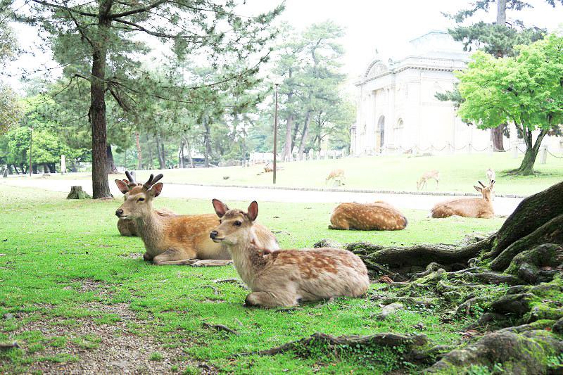 【Day3-日本關西自助行】小鹿斑比幻想破滅的奈良、中谷堂麻糬太對味!